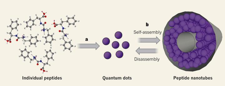 Самосборка пептидных квантовых точек (изображение: nature.com).
