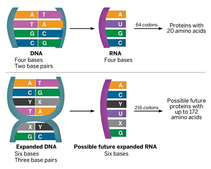 Всего два новых соединения расширяют диапазон биосинтеза возможных аминокислот с 20 до 172 (изображение: cen.acs.org).