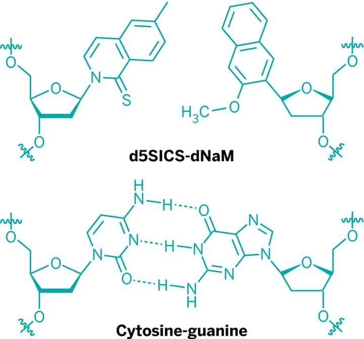 Сравнение связей синтетических (d5SICS-dNaM) и природных (C-G) оснований (изображение: nature.com).