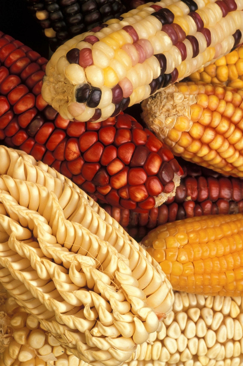 Внешне генетически-модифицированная кукуруза может ничем не отличаться от обычной. Изюминка глазу не видна. Показанный здесь сорт NK603, к примеру, невосприимчив к гербицидам (которыми травят сорняки). Поэтому урожайность выше.