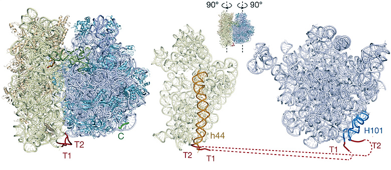 Образование связи между субъединицами в синтетической рибосоме (изображение: nature.com).