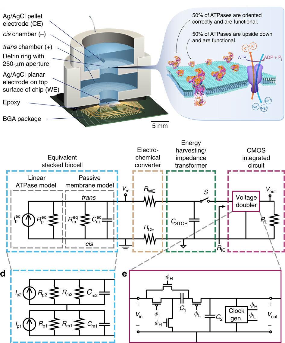 Схема питания CMOS BGA чипа от клеточной мембраны (изображение: Jared M. Roseman et all. / Nature Communications).