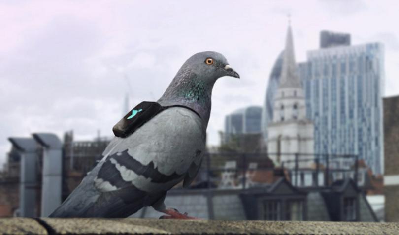 Голубиный патруль будет следить за чистотой лондонского воздуха