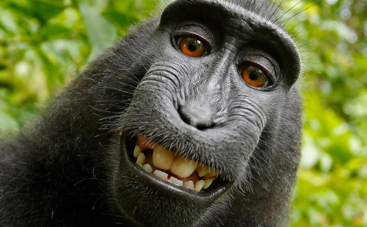 Знаменитое «обезьянье селфи». Знаменитое, увы, печально: вполне весёлый снимок омрачён многолетним судебным спором. И виновата, конечно, обезьяна: это она нажала на кнопку, а не владелец камеры!