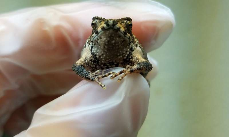 Жаба из пробирки поможет сохранить исчезающий вид земноводных