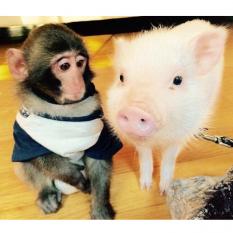 В Китае появился первый гибрид обезьяны и свиньи. Как и зачем создают «химер»?